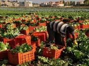رفض 73% من طلبات الفلسطينيين لفلاحة أراضيهم في منطقة التماس